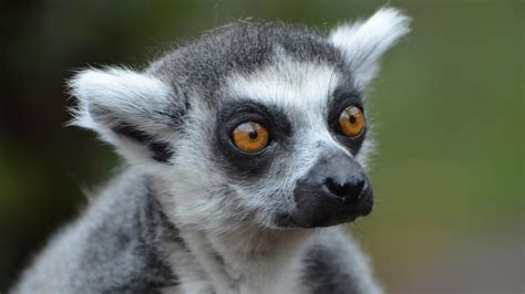 'In With The Lemurs' launches at ZSL London Zoo! - YouTube