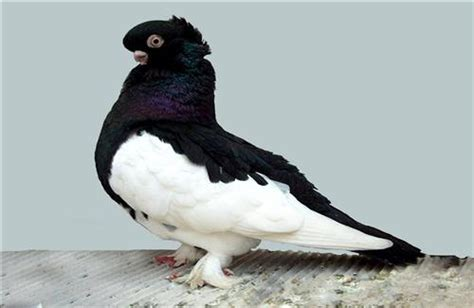 Black and White Bird Pigeon Pics | HD Wallpapers