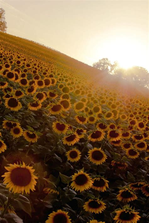 Sunflower Sunrise Pictures, Photos, and Images for